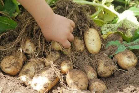После высаживания картофеля Удача, грунт не требует укрытия. Важно обеспечить своевременный доступ влаги к корнеплодам. Не стоит забывать о своевременном рыхлении грунта, причем присыпать корневище и стебель следует только влажной почвой.