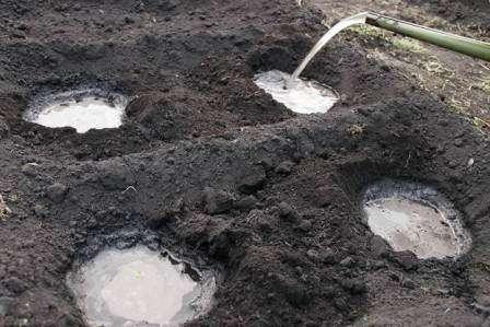 В воду, которой будут поливаться лунки перед посадкой стоит добавить перманганат калия. На дно каждой ямки полезно бросить по две пригоршни древесной золы, мочевины и суперфосфата.
