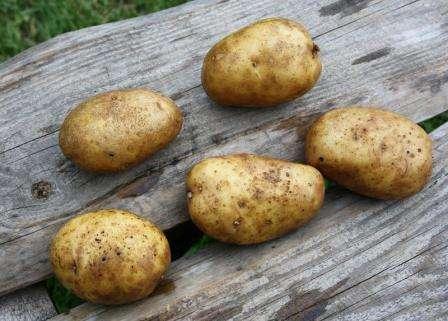 Важно прорастить картофель перед посадкой: сначала на свету, а за неделю до высаживания в емкости, заполненной опилками и перегноем.
