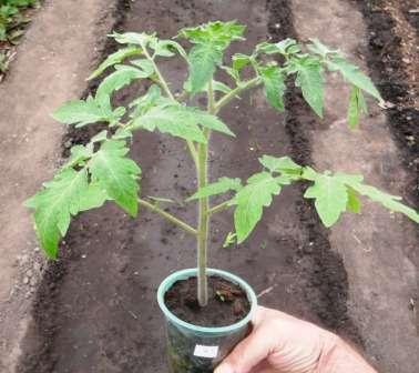 Если вам необходимо выяснить, как вырастить рассаду помидоров в домашних условиях, вы попали по адресу.