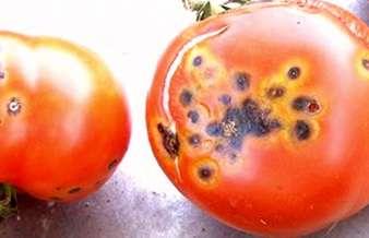На листьях и стеблях появляются бурые пятна овальной формы, а на плодах — круглой. Эту болезнь легко можно спутать с фитофторозом, поэтому обратите внимание на фото, чтобы научиться их отличать.