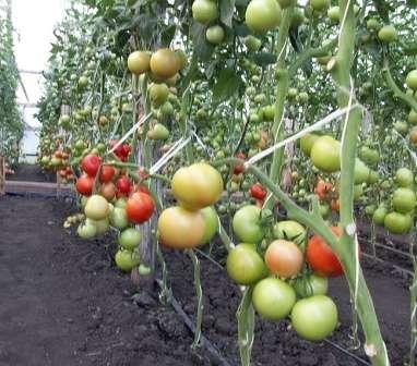 Сорт, поражающий своей урожайностью — с одного куста можно собрать до 10 кг помидоров.