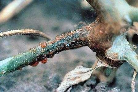 Эта болезнь чаще поражает именно те огурцы, которые произрастают в замкнутом пространстве, то есть в теплице.