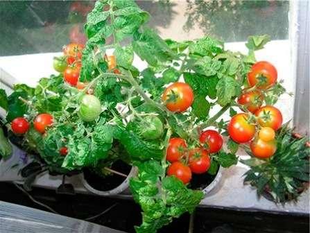 Этот сорт помидоров создан специально для комнатных условий. Он отлично переносит недостаток света.