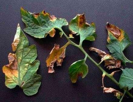 Листья рассады закручиваются вверх, желтеют и опадают