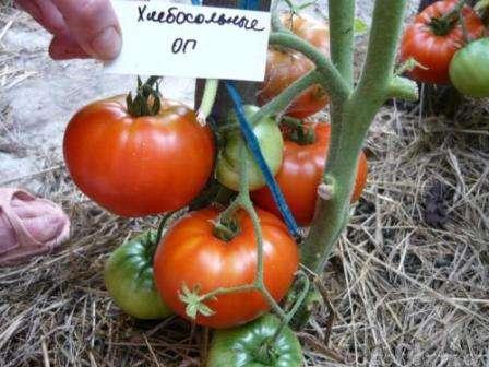 Как и другие томаты сибирской селекции, сорт Хлебосольный проявляет необычную устойчивость к похолоданиям и засухе.
