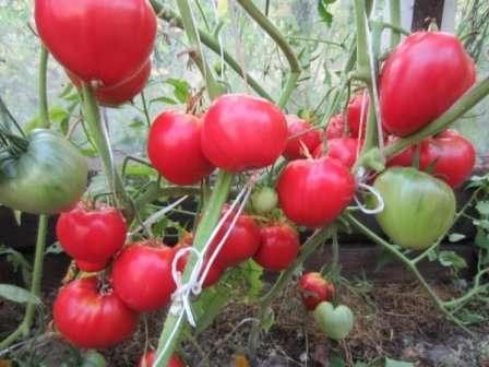 Данко. Сердцевидные крупные помидоры, вес которых иногда достигает 300 г, вырастают на полметровых кустах.