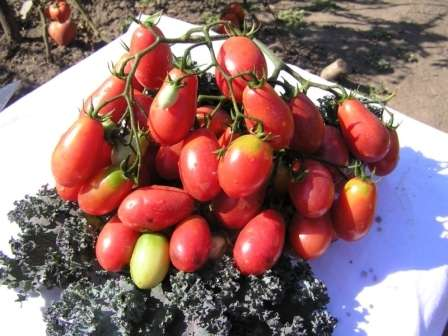 Высокорослый томат раннего созревания, пригодный для консервации.