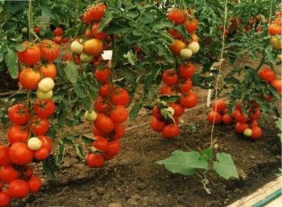 Плоды, весом более 100 г, очень сладкие, вкусные и не склонны к растрескиванию и осыпанию с куста.
