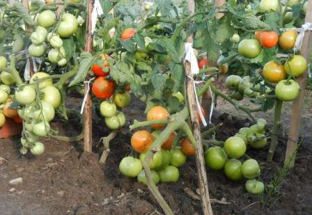 Дачникам Подмосковья нравиться сажать в открытый грунт помидоры Катя. Они невысокие, не притязательны в уходе, почти никогда не болеют, дают вкусные плоды среднего размера.
