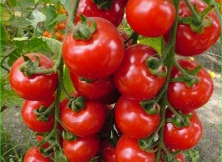 Этот высокорослый сорт также способен порадовать обилием урожая. Он скороспелый, имеет хороший товарный вид и универсален в применении.