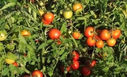 Невысокое растение с небольшими плодами приятного вкуса. Уход упрощен тем, что формировать куст не нужно. Он защищен от некоторых болезней. Созревают плоды дружно, хранятся хорошо.