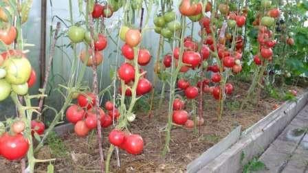 Прекрасный крупноплодный сорт помидоров, который можно выращивать не только в теплице, но и в открытом грунте.