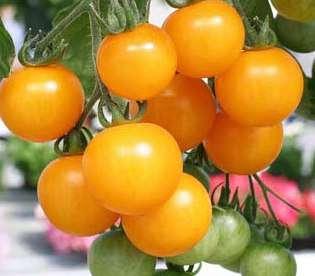 Кусты этих помидоров дадут вам большое количество желтых, тонкокожих, сочных и очень сладких плодов весом до 40 г.