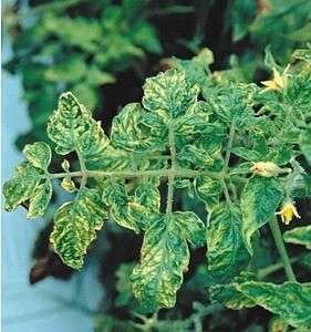 Это вирусное заболевание, при котором листья не только закручиваются, но и покрываются мозаичным рисунком.