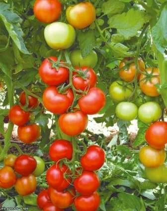 Никола. Это сорт томатов сибирской селекции радует своей устойчивостью к болезням, вызванным грибами.