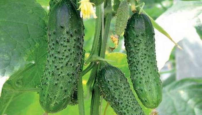 Кусты сорта Зозуля защищены от прикорневой гнили, оливковой пятнистости, аскохитоза, вируса огуречной мозаики.