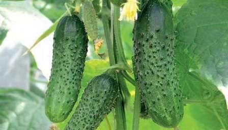 Родничок. Засолочный сорт-ретро. Получил свою популярность за неприхотливость и великолепный вкус. Огурцы сорта родничок не болеют и всегда дают обильный урожай.