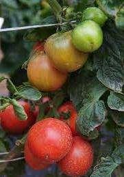 Если вы хотите сочных, нежных и сладких помидоров крупных размеров — хорошее решение сорт Розмарин.