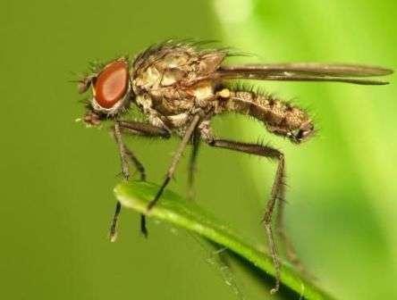 Из куколок, перезимовавших в земле, взрослые особи ростковой мухи появляются в апреле.