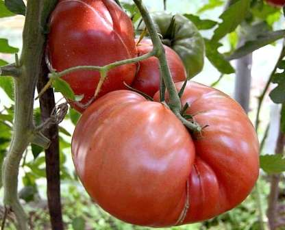 Первые дни после посадки рассаду томатов лучше накрыть пленкой. Когда она начнет активный рост, нужно будет аккуратно подвязать ветви к опоре.