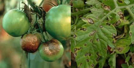 Эта болезнь обычно поражает томаты во второй половине лета и может уничтожить до 70% урожая. Второе название этого самого распространенного заболевания помидоров — «бурая гниль».