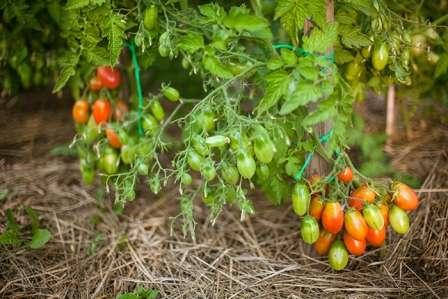 Это очень популярный сорт помидоров для засолки. Он отличается большим количеством некрупных сливовидных плодов, которые имеют сладкий вкус.