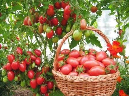 Опытные овощеводы знают, что тепличные культуры особенно подвержены грибковым и вирусным заболеваниям. Например, причиной развития болезни у томатов может стать несвоевременное проветривание теплицы.
