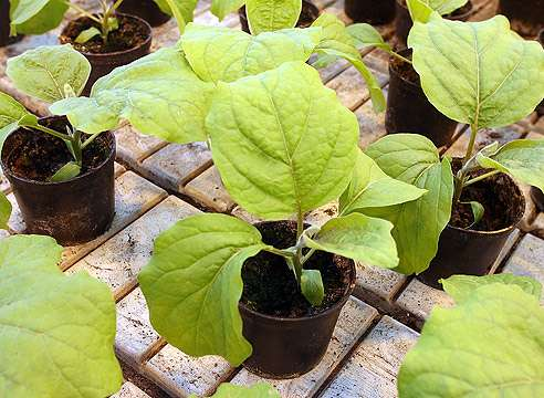 После всех предыдущих процедур многие земледельцы предпочитают нанести на семена состав, содержащий необходимые для растения элементы и минералы.