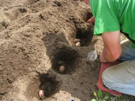 Количество методов посадки картофеля растет с каждым годом.