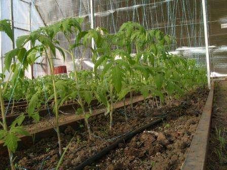 Когда высаживать помидоры в теплицу из поликарбоната?
