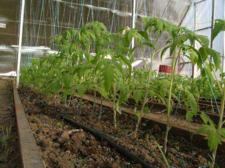 Для высокорослых томатов необходимо соорудить опору.