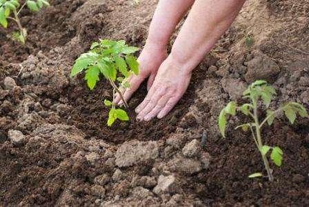 Когда сажают кукуруза в открытый грунт 21