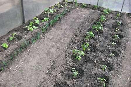 Высаживать рассаду в теплицу стоит лишь тогда, когда земля хорошо прогреется.