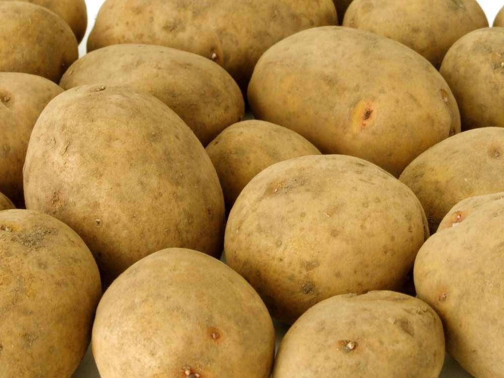 Картофель «Скарб», описание сорта, фото которого представлены на нашем сайте, легко удается культивировать даже начинающим фермерам.