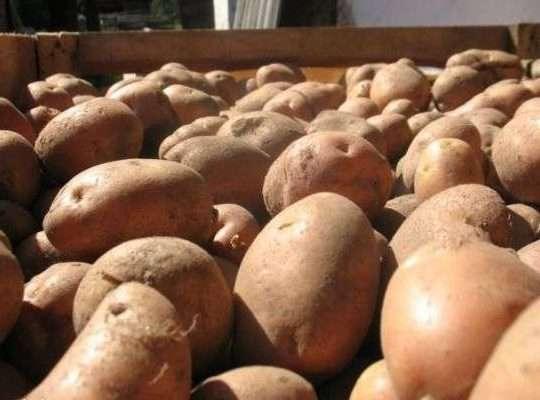 В виду того, что клубни картофеля достаточно крупные, то требуется немалая площадь для его посадки. Расстояние между рядками не должно быть менее 80-90 см, а между лунками – не менее 30-40 см.