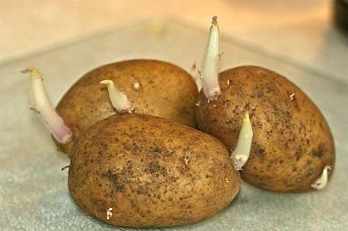 Яровизация картофеля в домашних условиях