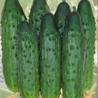 Этот гибрид вышел на рынок не так давно, но быстро завоевал популярность среди земледельцев.