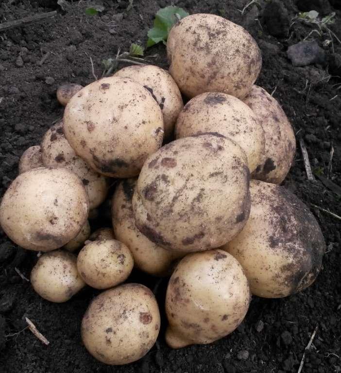 Картофель сорта «Удача» не следует слишком долго выдерживать в почве, в надежде на больший урожай. Убирать его можно в начале, либо середине августа, здесь все зависит от того, когда картофель посадили. Молодой же картофель можно выкопать на пробу, когда пройдет пара недель с начала цветения.