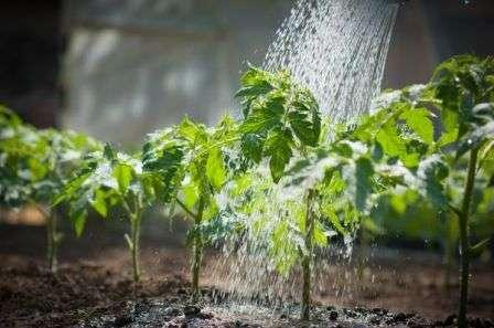 Это также может послужить причиной того, что листья томатов сворачиваются в трубочку.