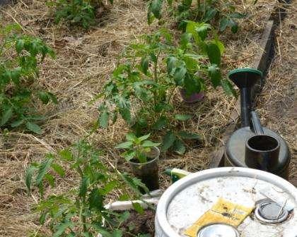 Подкармливать помидоры в первое время после посадки в теплицу особенно важно.