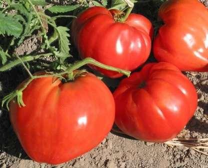 Мясистые помидоры этого сорта по виду действительно похожи на сердце большого размера.