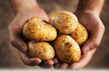Особенности сорта картофеля «Удача»