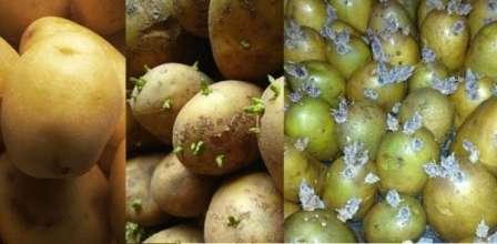 Прогревание — при температуре 20-24 ºС картофель выдерживают в течении двух или трех дней.