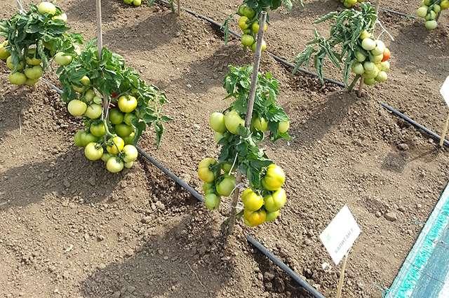 Чем крепче будет корень томатного куста, тем больше сил растение сможет потратить на развитие плодов. Эффективно укрепляет корневую систему окучивание.