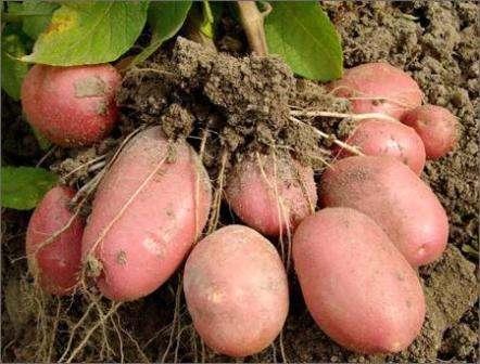 После появления всходов и с началом роста ботвы, участок с картофелем необходимо обработать специальными препаратами. Это делается для защиты посадок от вредителей и болезней.