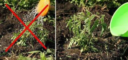 Полив холодной водой — это стресс для помидоров. Всегда используйте для этого только теплую воду.