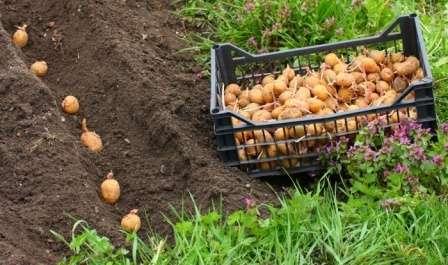 Подготовка включает не одно и даже не два этапа, а целый ряд: • отбор годных к посадке клубней; • калибровка и резка; • проращивание; • удобрение.
