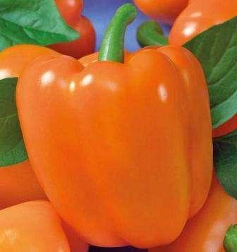 Раннеспелые высокоурожайные кустики с ярко оранжевыми перчинками среднего размера порадуют глаз прохожих.