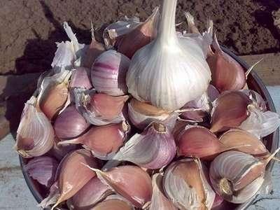 Подготовка семян чеснока к посадке — советы опытных агрономов